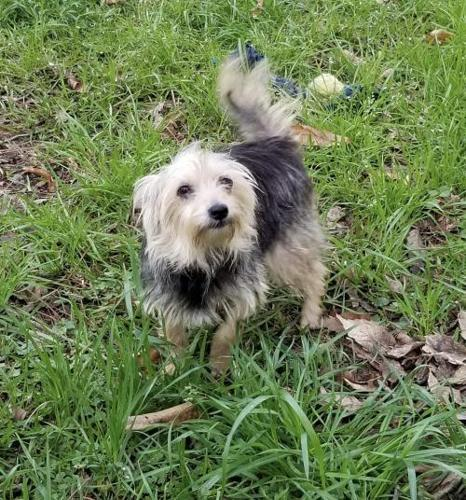 Mia Js In Ri Yorkshire Terrier Yorkie Young Adoption Rescue For
