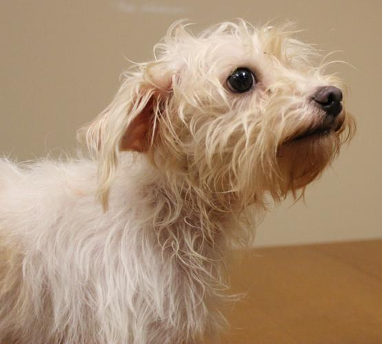 Mia Wirehaired Terrier Young - Adoption, Rescue