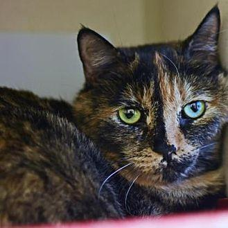 Michonne Domestic Shorthair Adult Female