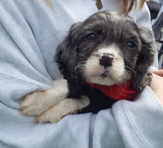 english springer spaniel rescue adoption