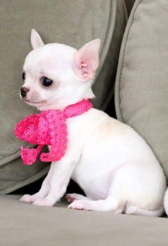 Micro Applehead Teacup Chihuahua For Sale In Lakewood