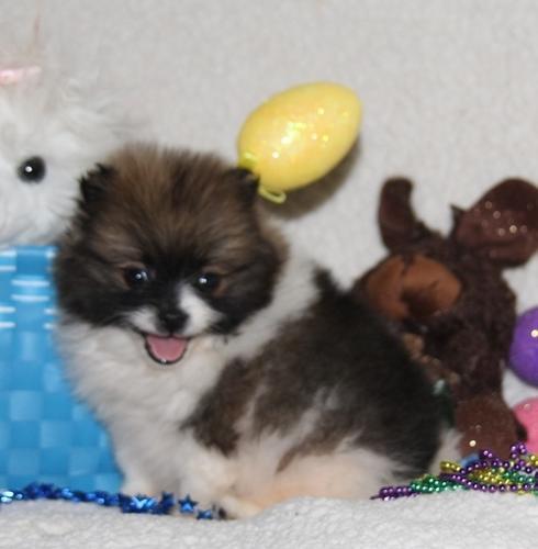 Micro Charming Pomeranian Puppies For Sale In Dallas Texas