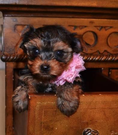 yorkie puppies for sale in philadelphia micro extra tiny teacup yorkie puppies for sale in 3081