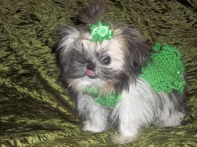 Micro Imperial Shih Tzu Female 55 Months 30 Oz For Sale In Wittmann