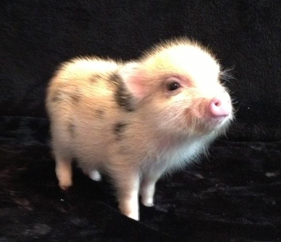 micro juliana baby pigs for sale in sandpoint idaho classified