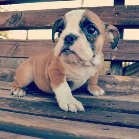 Micro Mini English Bulldog For Sale In Los Angeles