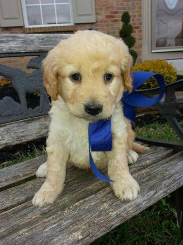 Micro Mini Goldendoodle Puppies Christmas Puppies For Sale