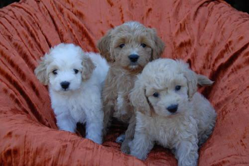Micro Mini Goldendoodles For Sale In Crosby Ohio Classified