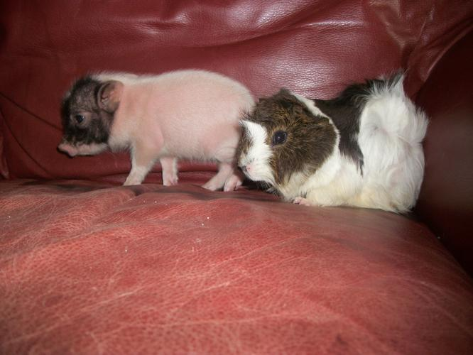 micro mini pot bellied pigs