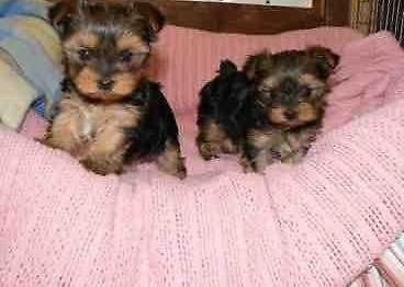 Micro Mini Tea Cup Yorkie For Sale In Antioch Tennessee Classified