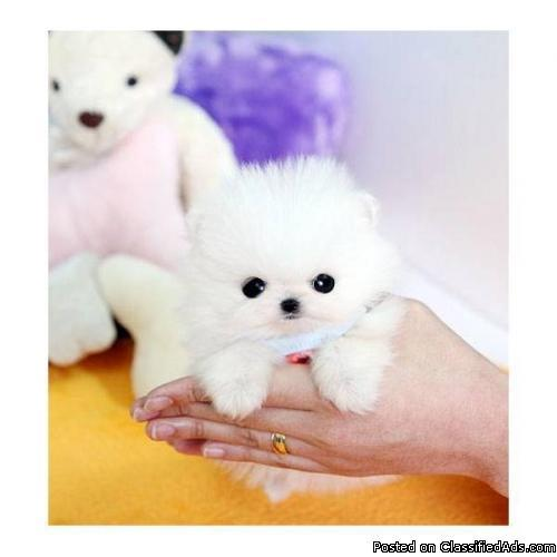 Sf Classified: Micro Mini Teacup Pomeranian Puppy!! For Sale In San