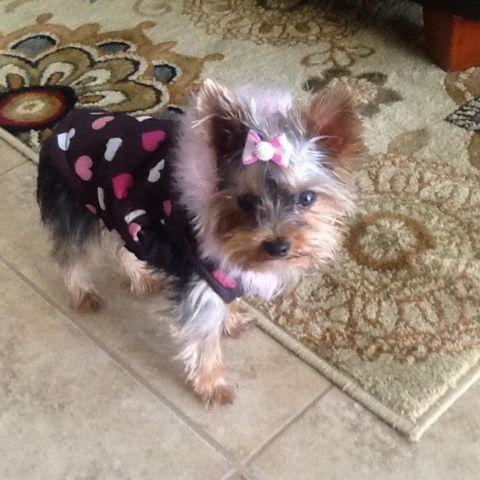 Teacup Yorkie Puppies For Sale In Florida Classifieds Buy And Sell