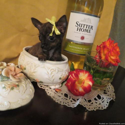 Micro Pixie Chihuahua