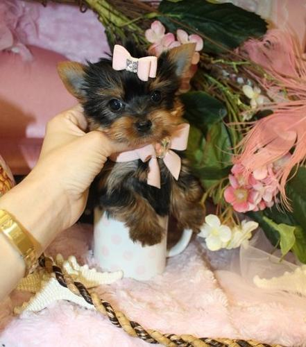 Micro Tea Cup Yorkie Puppies For Sale In Buffalo New York