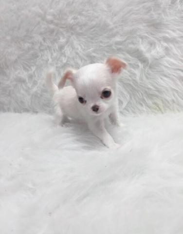 Micro Teacup Applehead Chihuahua