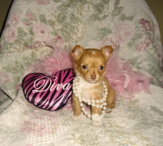 Micro Teacup Chihuahua Longcoat Female Lilly Lee 3 Lbs