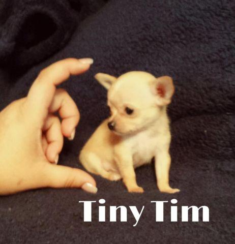 MICRO - TEACUP CHIHUAHUA PUPPIES!!! THEY ARE TINY!!(Apple head)