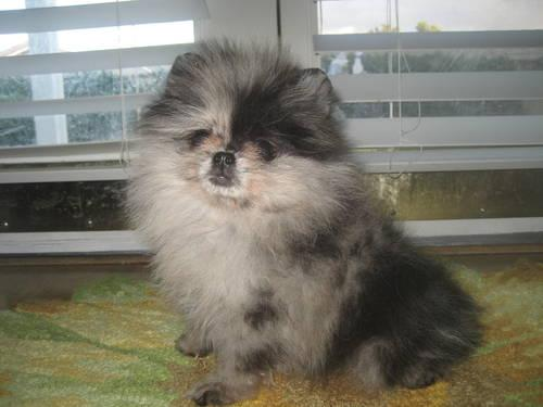 Micro Teacup Long Haired Chihuahua Puppies Must See For