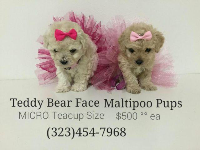 ❤️⭐️ Micro TEACUP Maltipoo Puppies ⭐️❤️