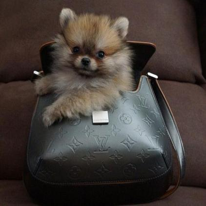 Micro Teacup Pomeranian puppies, Male & Female,