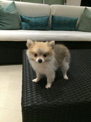 pomeranian los angeles micro teacup pomeranian puppy for adoption los angeles 8195