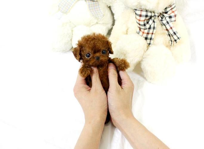 Micro Teacup Poodle Puppies