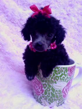 Micro Teacup Poodle Black