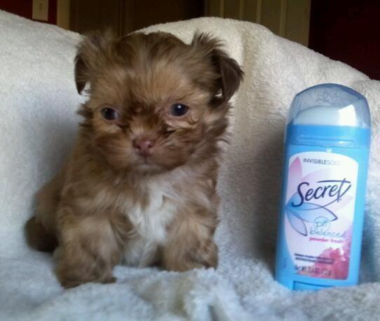 Yorkiepoo Pets And Animals For Sale In The Usa Puppy And Kitten