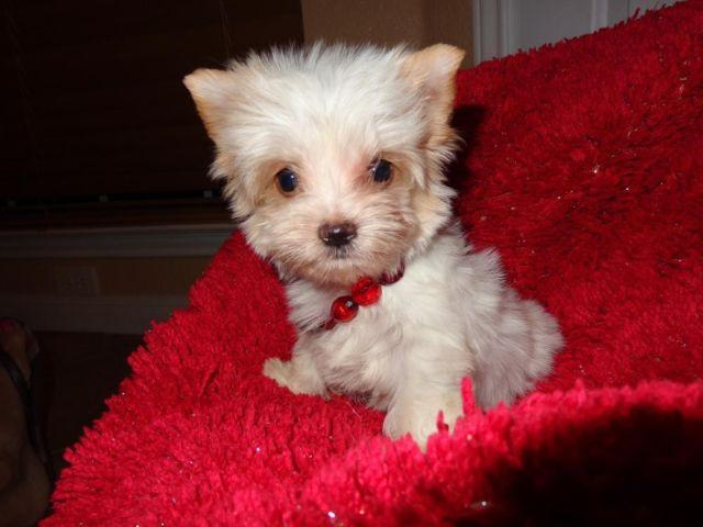white yorkie puppy for sale micro teacup yorkshire terrier yorkie white parti for 6262