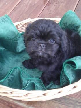 Micro Tiny Shiranian Puppies For Sale In Mercer