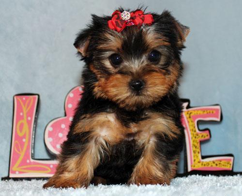 Micro Tiny Teacup Yorkie Puppy Girl (Jena)