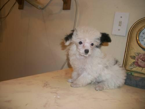 Micro Teacup Poodle Parti Female for Sale in Nashville, Tennessee