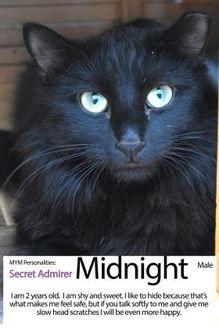 Midnight Domestic Longhair Adult Male