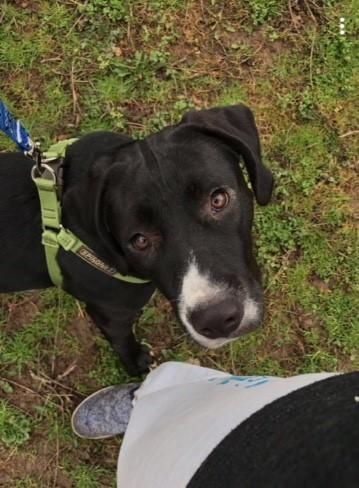 Miley Treeing Walker Coonhound Young - Adoption, Rescue for