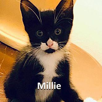 Millie Domestic Shorthair Young Female