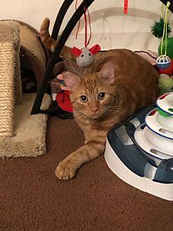 Milo Domestic Shorthair Young Male