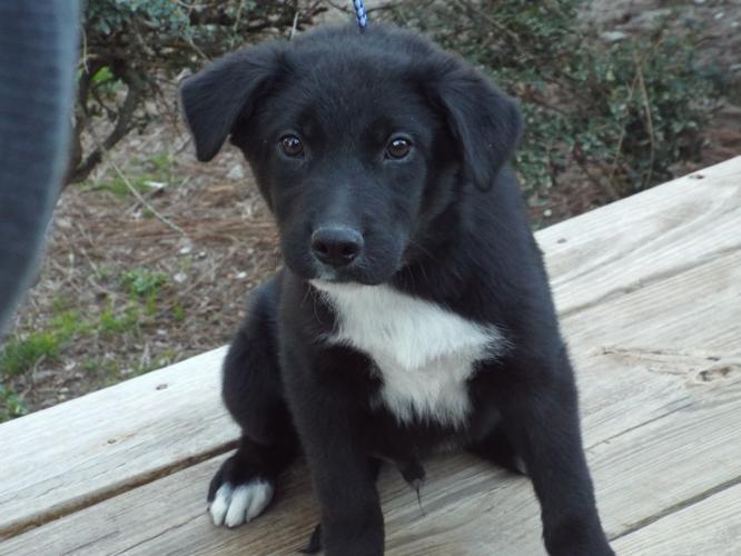 Milo is pending adoption Black Labrador Retriever Baby - Adoption, Rescue