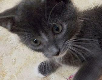 Blue Kittens For Sale : Russian blue kitten for sale in florida classifieds & buy and sell