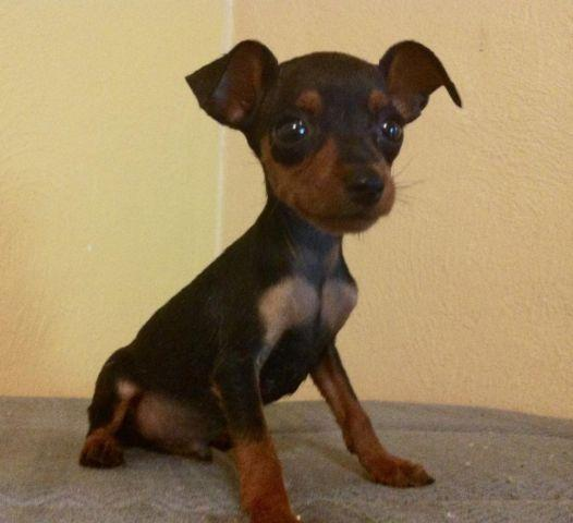 Min Pin Puppies For Sale In Orlando Florida Classified