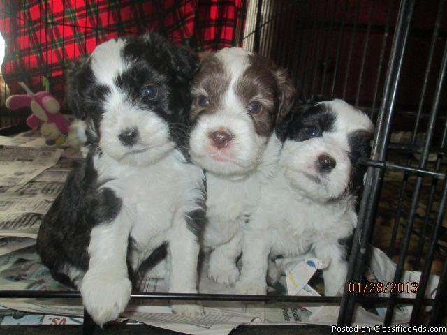 Minature Aussiedoodles Puppies