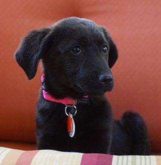 Mindy Labrador Retriever Puppy Female