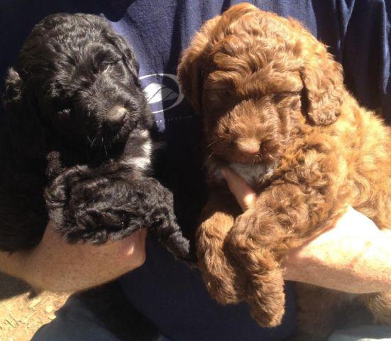 Mini- bernerdoodle Medium sized tedy bear family pups