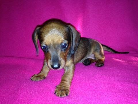 Mini AKC Dachshund Red Female Puppy - 6 Weeks Old