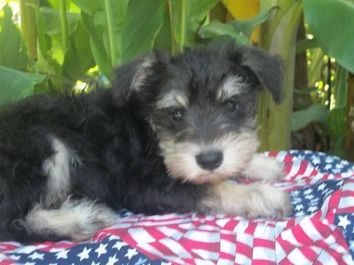 Schnauzer Puppies For Sale – Lucky 7 Schnauzers