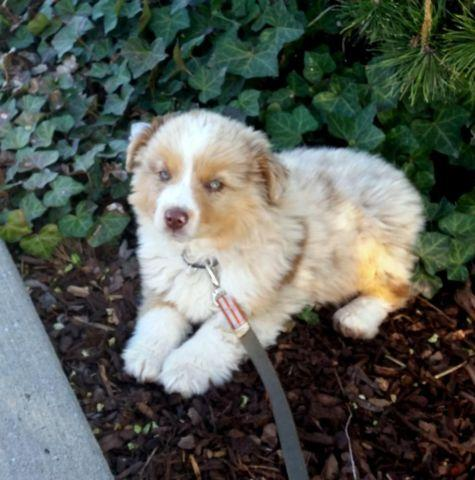 Mini Aussie, 12 weeks old, possible delivery to Renton