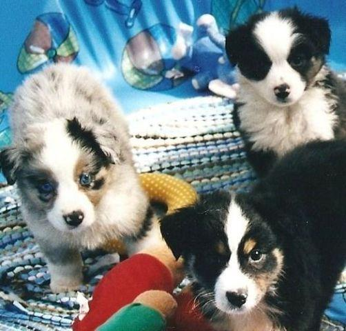 Mini Aussie-Black tri BOYS and GIRLS- Want the BEST???