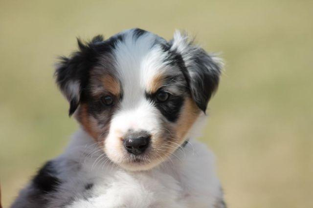 Mini Aussie Mix Puppies