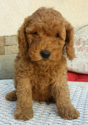 mini Australian Multigen Labradoodle puppies for Sale in Leona Valley ...