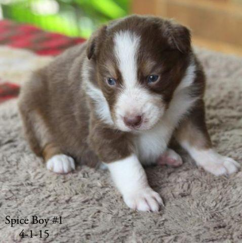 Mini Australian Shepherd Pups For Sale In La Vernia Texas