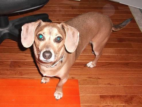 Mini Beagle and Jack Russell Mix for Sale in Wabaningo ...